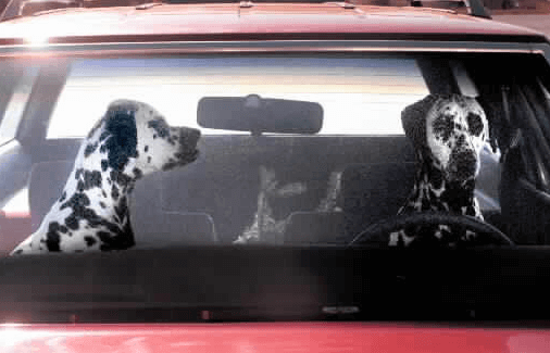Dogs in car not asking for directions