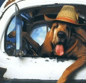 Bloodhound dog driving country truck