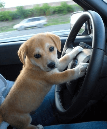Puppy dog driving a Ford car