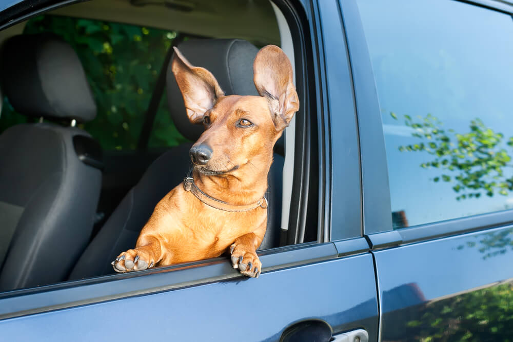 Alert weiner dog in car