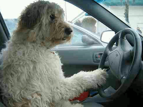 Calm dog driving car