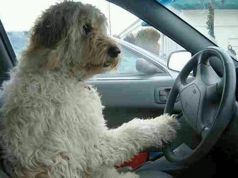 Calm dog driving car