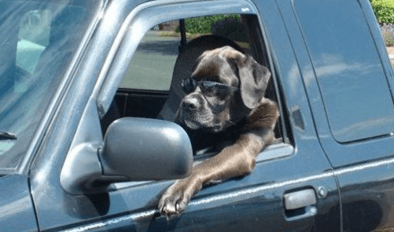 Cool dog driving truck with sunglasses