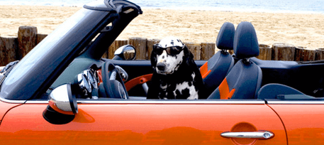Dalmatian dog driving convertible car with sunglasses