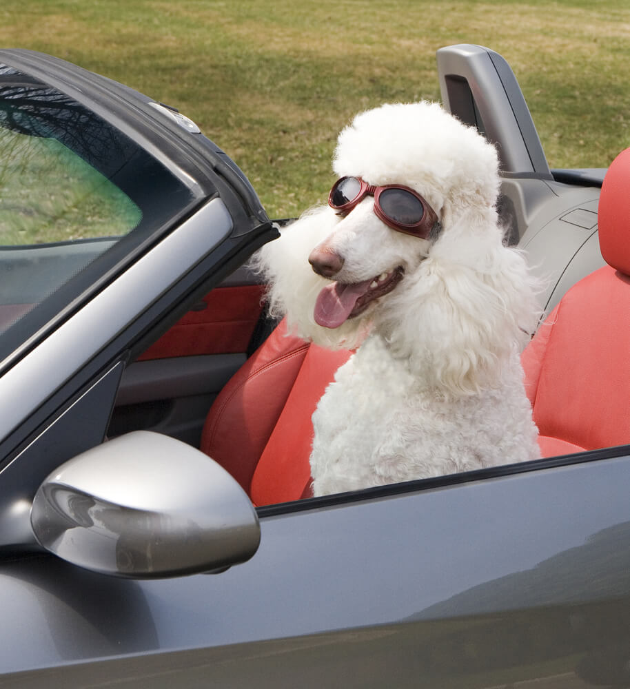 Poodle dog driving convertible car with goggles