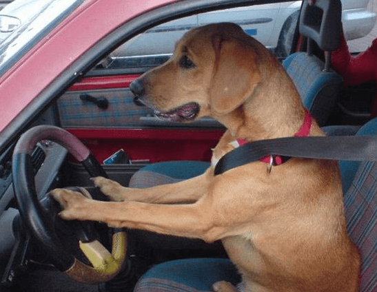 Lab dog driving car with seatbelt on